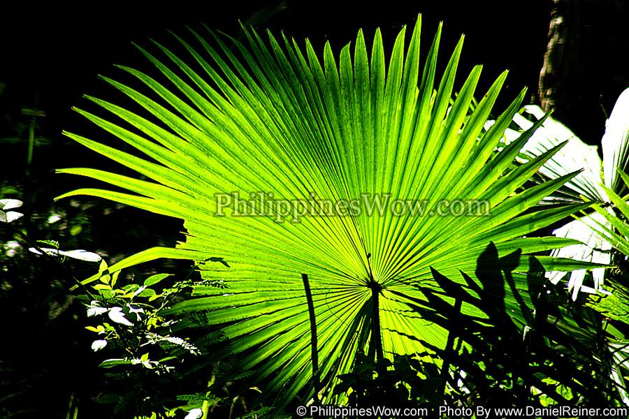 Philippine Anahaw Leaf