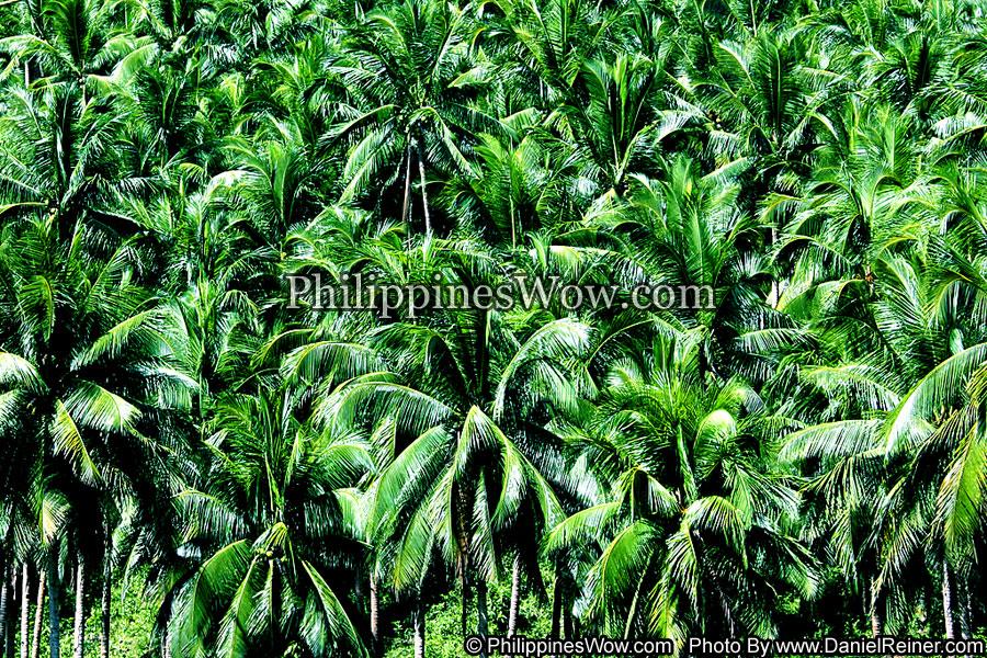 Philippine Coconut Plantation