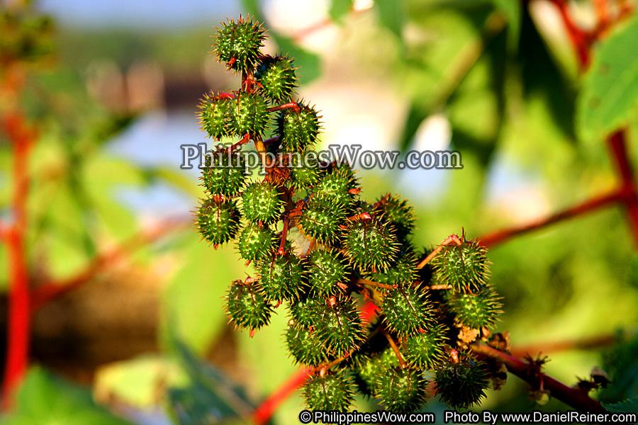 Lychee Tree Fruit