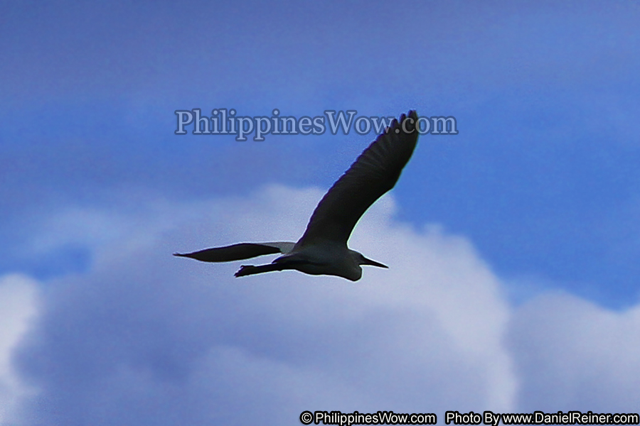Philippine Albatross