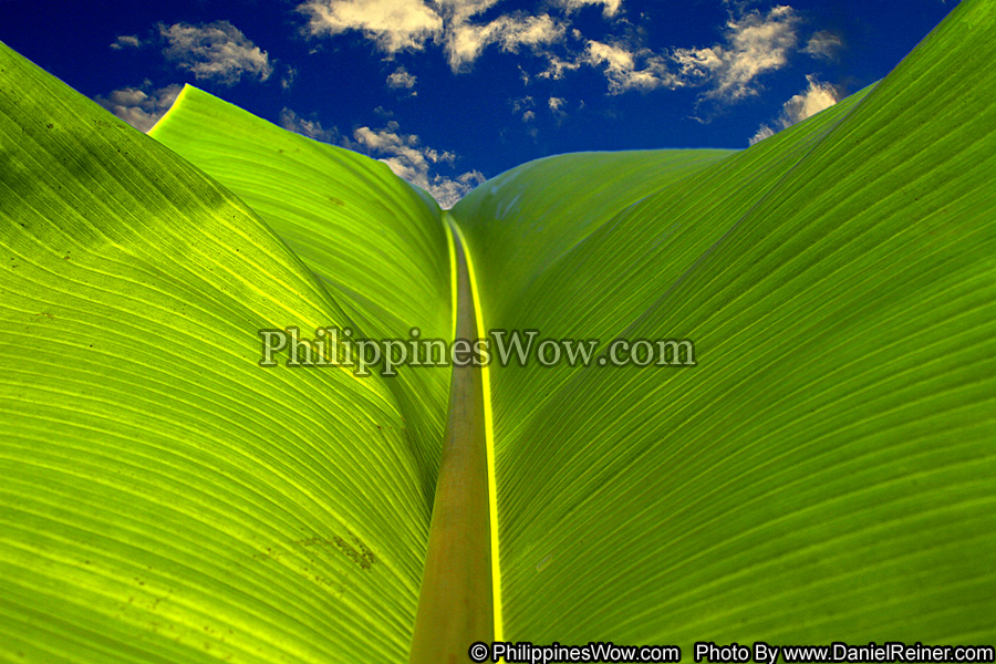 philippine banana leaf