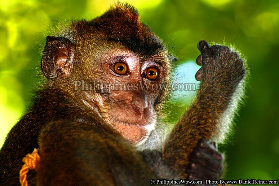 Philippine Chimpanzee