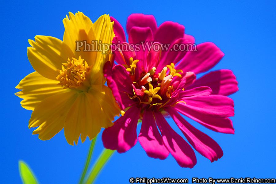 Philippine Cosmos Flowers
