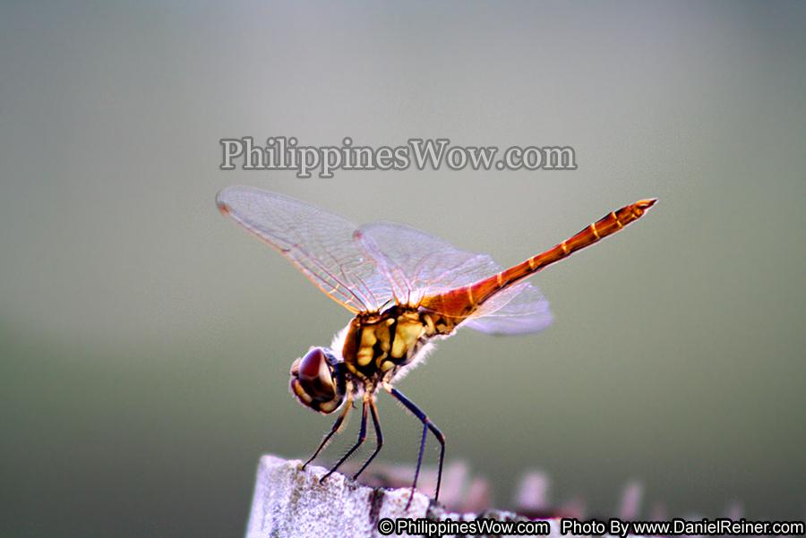 Philippine Dragonfly