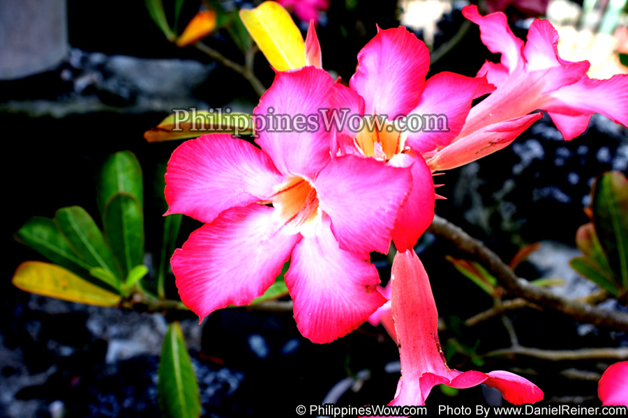 Philippine Kalachuchi Flowers