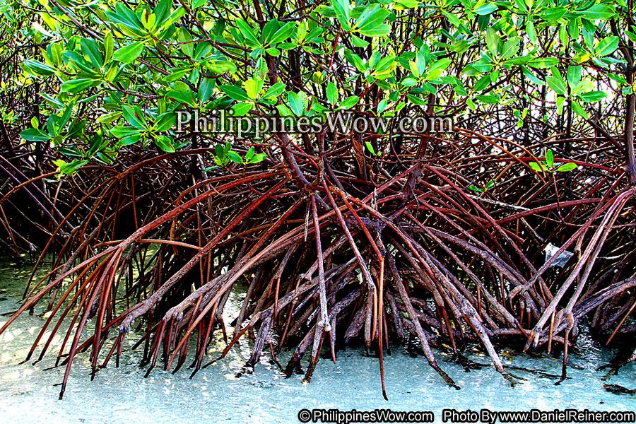 Philippine Mangrove Tree