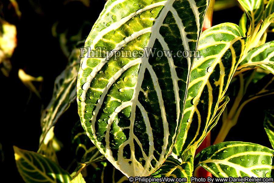 Philippine Maranta Plant