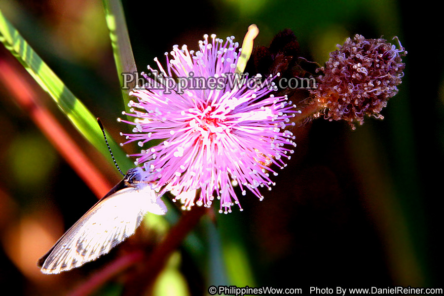 Philippine Moth on Mimosa Flower