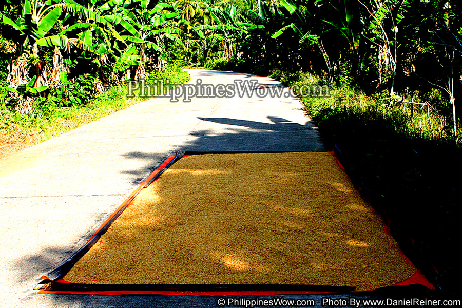 Palay Rice Drying on the Road