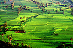 philippine rice fields