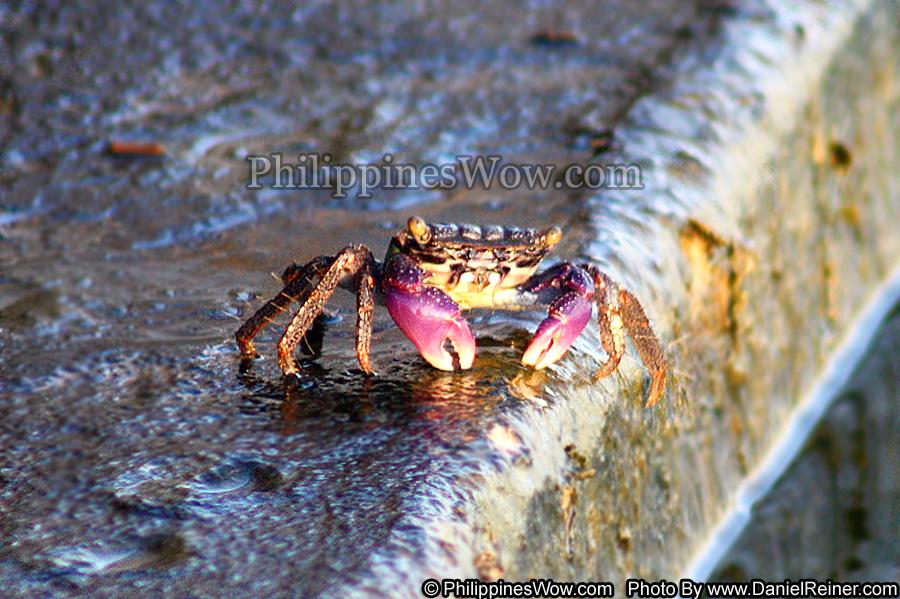 Philippine Rock Crab