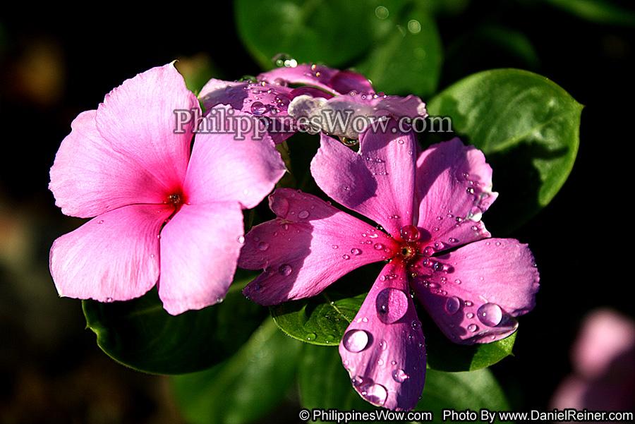 Philippine Violet Flower