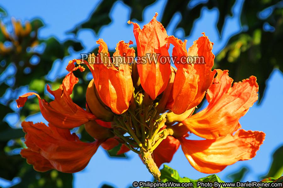 Philippine Tulip Tree